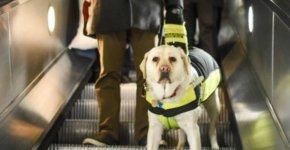 Discrimination handicap : un chien-guide équipé d'une GoPro